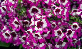 Flores coloridas Foto de archivo libre de regalías