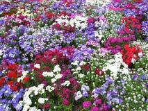 Flores coloridas Fotografia de Stock Royalty Free