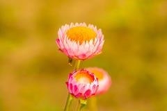 Flores coloridas 3 Imagen de archivo libre de regalías