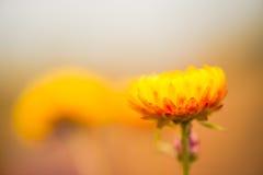 Flores coloridas 2 Imagens de Stock