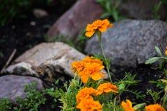 Flores coloridas anaranjadas con las rocas Imágenes de archivo libres de regalías