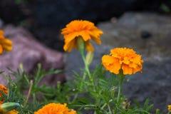 Flores coloridas anaranjadas con las rocas Imagen de archivo libre de regalías