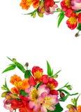 Flores coloridas bonitas (Alstroemeria) Imagem de Stock Royalty Free