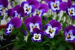 Flores coloridas bonitas do amor perfeito em um potenci?metro fotos de stock