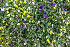 Flores coloridas bonitas no jardim Imagem de Stock