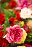 Flores coloridas brilhantes suculentas em uma janela da loja Fotos de Stock