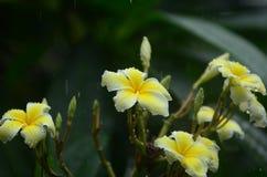 Flores coloridas con descensos del agua después de la lluvia Sol rosada de la flor de la azalea Flor rosada hermosa Fotografía de archivo libre de regalías