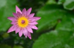 Flores coloridas con descensos del agua después de la lluvia Sol rosada de la flor de la azalea Flor rosada hermosa Fotos de archivo libres de regalías