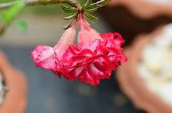 Flores coloridas con descensos del agua después de la lluvia Sol rosada de la flor de la azalea Flor rosada hermosa Fotografía de archivo