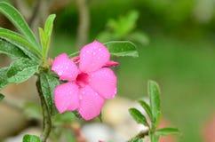 Flores coloridas con descensos del agua después de la lluvia Sol rosada de la flor de la azalea Flor rosada hermosa Imagen de archivo