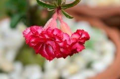 Flores coloridas con descensos del agua después de la lluvia Sol rosada de la flor de la azalea Flor rosada hermosa Imagenes de archivo