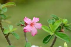 Flores coloridas con descensos del agua después de la lluvia Sol rosada de la flor de la azalea Flor rosada hermosa Foto de archivo