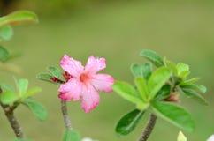 Flores coloridas con descensos del agua después de la lluvia Sol rosada de la flor de la azalea Flor rosada hermosa Imagen de archivo libre de regalías