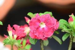 Flores coloridas con las gotitas después de la lluvia Sol rosada de la flor de la azalea Flor rosada hermosa Fotos de archivo