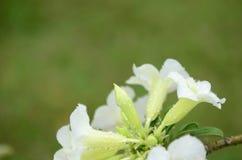Flores coloridas con las gotitas después de la lluvia Sol rosada de la flor de la azalea Flor rosada hermosa Fotografía de archivo libre de regalías