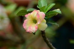 Flores coloridas con las gotitas después de la lluvia Sol rosada de la flor de la azalea Flor rosada hermosa Fotos de archivo libres de regalías