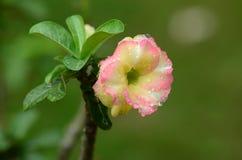 Flores coloridas con las gotitas después de la lluvia Sol rosada de la flor de la azalea Flor rosada hermosa Imágenes de archivo libres de regalías