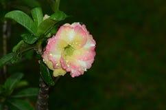Flores coloridas con las gotitas después de la lluvia Sol rosada de la flor de la azalea Flor rosada hermosa Imagen de archivo libre de regalías