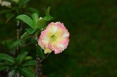 Flores coloridas con las gotitas después de la lluvia Sol rosada de la flor de la azalea Flor rosada hermosa Imagenes de archivo