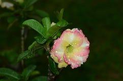 Flores coloridas con las gotitas después de la lluvia Sol rosada de la flor de la azalea Flor rosada hermosa Foto de archivo libre de regalías