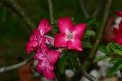 Flores coloridas con las gotitas después de la lluvia Sol rosada de la flor de la azalea Flor rosada hermosa Foto de archivo