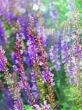 Flores coloridas da alfazema na flor imagens de stock