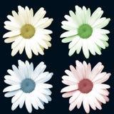 Flores coloridas da camomila Foto de Stock Royalty Free