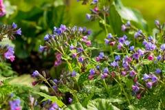 Flores coloridas da floresta da mola Cor-de-rosa e azul floresce o obskura Unspotted de Pulmonaria do lungwort ou do lungwort do  foto de stock royalty free