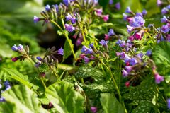 Flores coloridas da floresta da mola Cor-de-rosa e azul floresce o obskura Unspotted de Pulmonaria do lungwort ou do lungwort do  Imagem de Stock