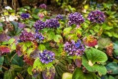 Flores coloridas da hortênsia no jardim botânico Imagens de Stock Royalty Free
