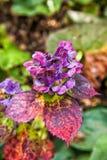Flores coloridas da hortênsia no jardim botânico Imagens de Stock