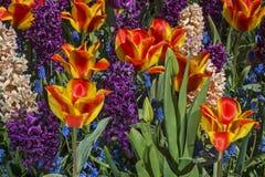 Flores coloridas da mola Fotografia de Stock