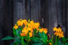 Flores coloridas da mola no backgroung de madeira Fotografia de Stock Royalty Free