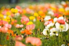 Flores coloridas da papoila fotografia de stock