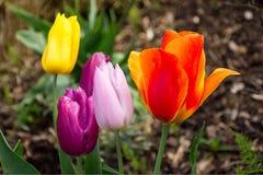 Flores coloridas da tulipa no parque Fotografia de Stock Royalty Free