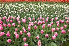 Flores coloridas das tulipas que florescem em um parque Foto de Stock