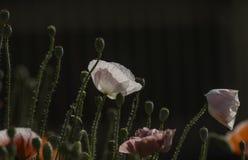 Flores coloridas de Coquelicot Fotografia de Stock Royalty Free