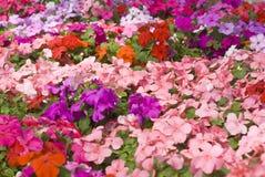 Flores coloridas de Impatiens Foto de archivo libre de regalías