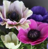 Flores coloridas de la amapola Fotografía de archivo libre de regalías