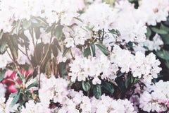 Flores coloridas de la azalea en jardín Arbustos florecientes de la azalea brillante en la luz del sol de la primavera Naturaleza fotos de archivo libres de regalías