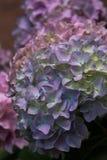 Flores coloridas de la hortensia Fotos de archivo libres de regalías