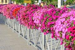 Flores coloridas de la petunia Foto de archivo libre de regalías