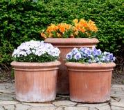 Flores coloridas de la primavera en macetas Foto de archivo libre de regalías