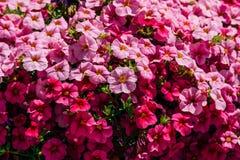 Flores coloridas de los geranios del Pelargonium Foto de archivo libre de regalías