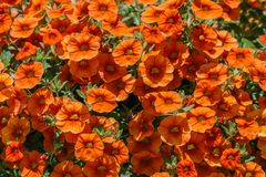 Flores coloridas de los geranios del Pelargonium Fotos de archivo libres de regalías