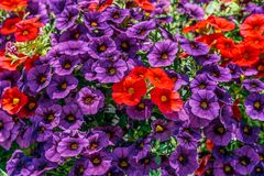 Flores coloridas de los geranios del Pelargonium Foto de archivo
