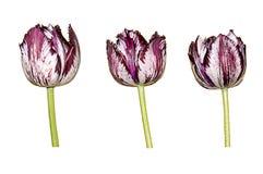Flores coloridas de los tulipanes aisladas en el fondo blanco Foto de archivo libre de regalías