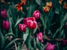 Flores coloridas de los tulipanes en el jardín Fotos de archivo libres de regalías
