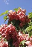 Flores coloridas de musa na ilha de Ometepe fotografia de stock royalty free