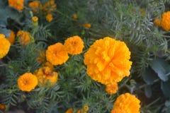 Flores coloridas de Tagetes Imagen de archivo libre de regalías